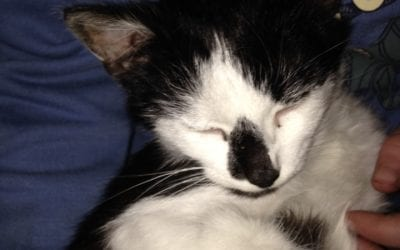 Male kitten found on Swords Open Golf Course