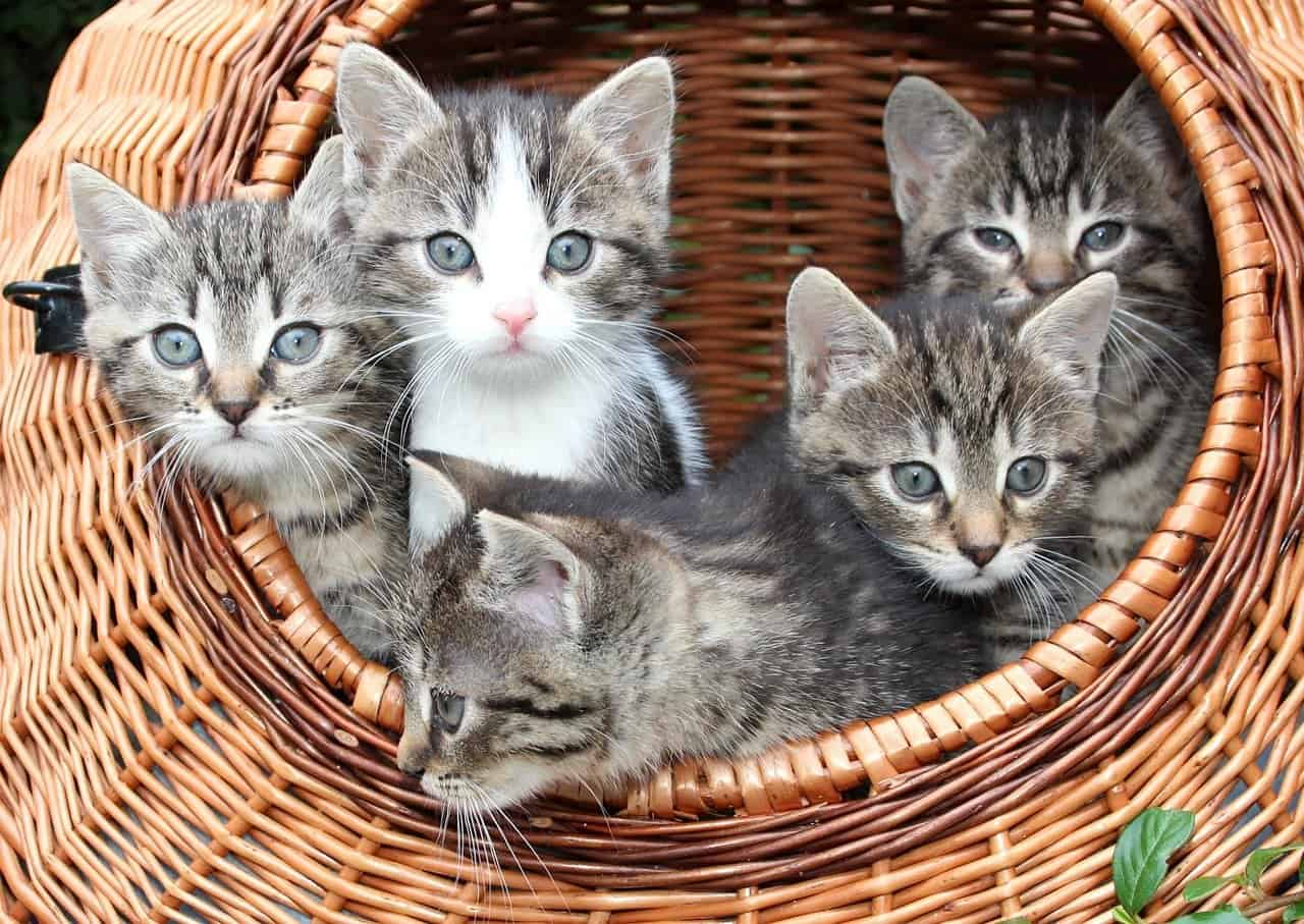 cat, kitten in a basket, babies