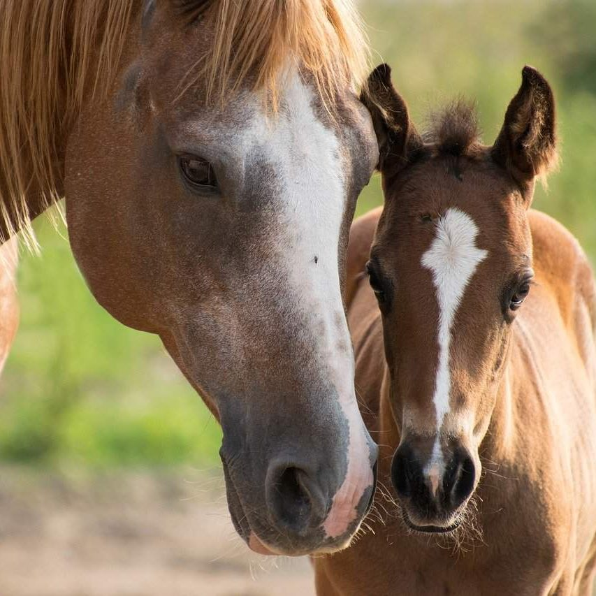 foal, mare, mother